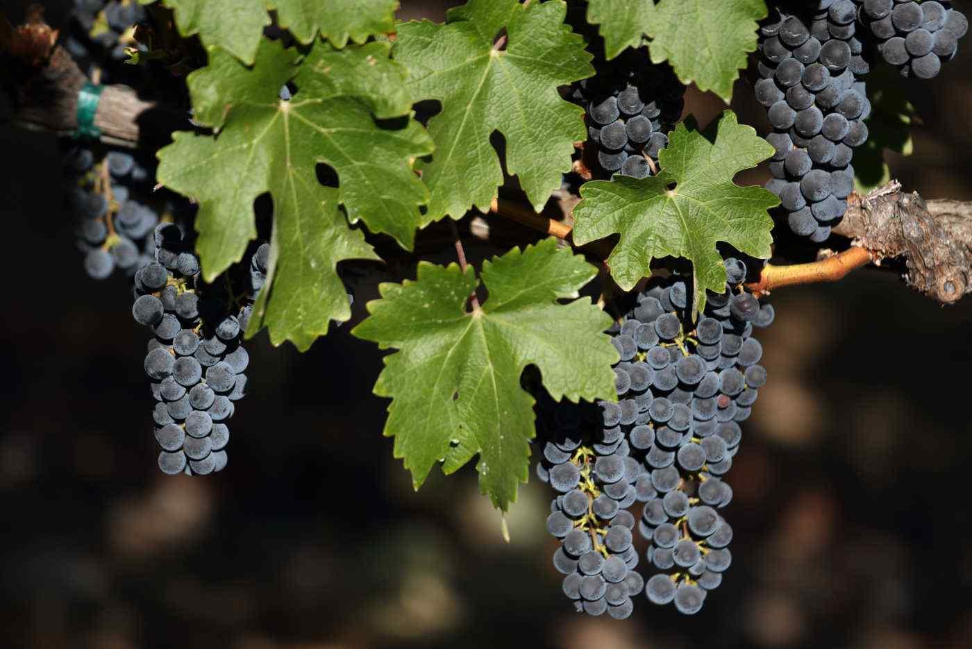 Heimark Vineyard fruit in sun