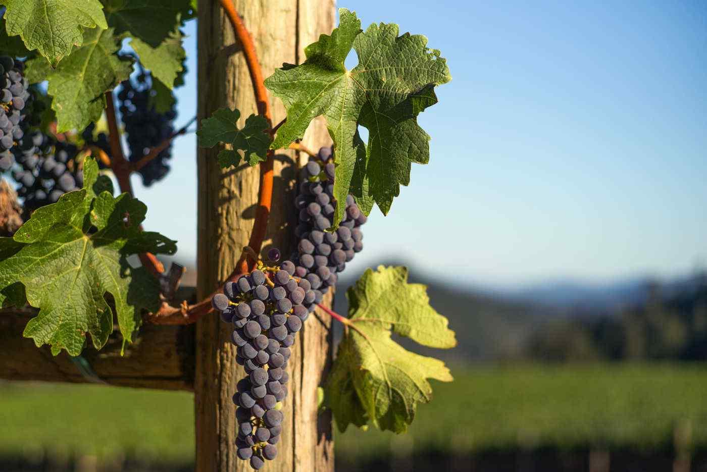 Heimark Vineyard Grapes in the Sun