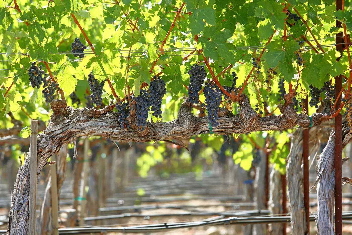 Heimark Vineyard Under the Canopy