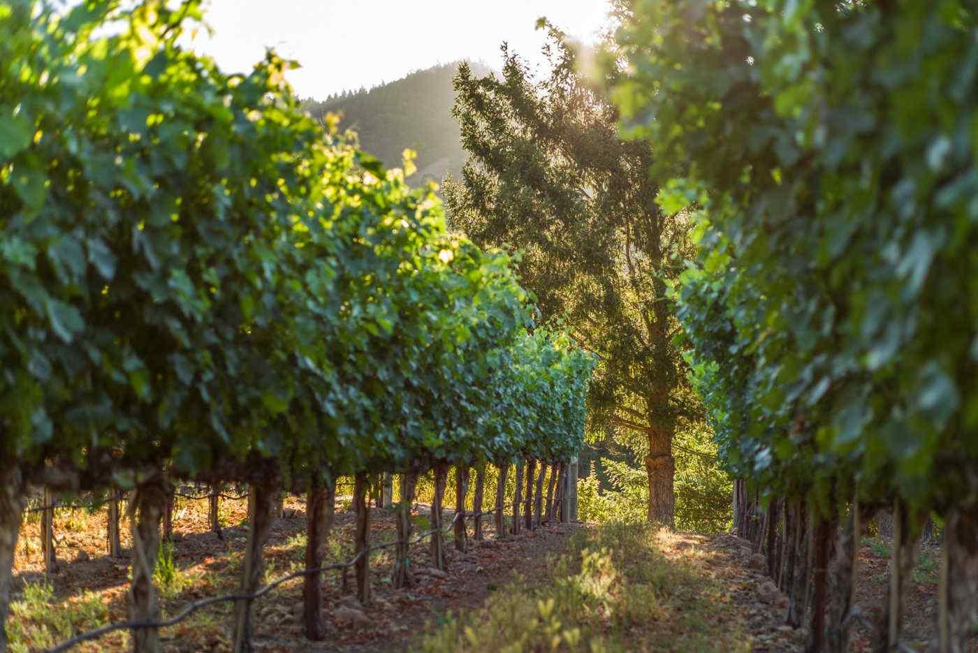 Heimark Vineyard Vines with Tree