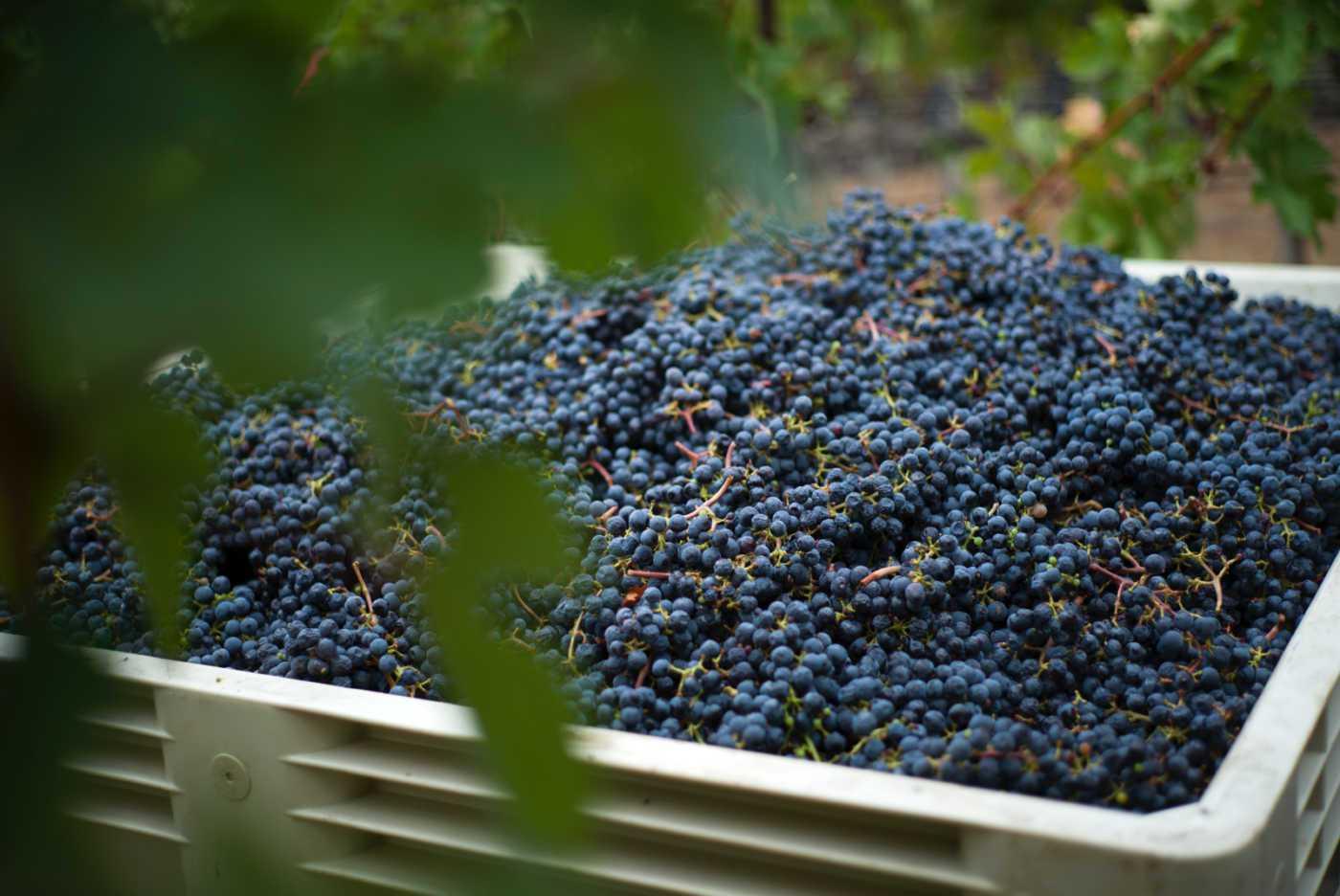 2020harvest_grapesinbin