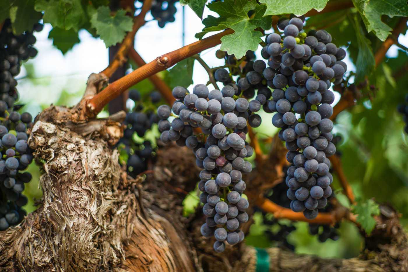heimark grapes
